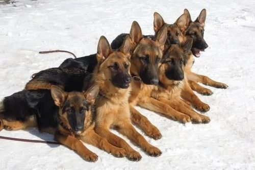 Anjing German Shepherd