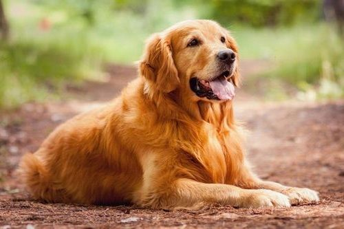 Anjing Golden Retriever