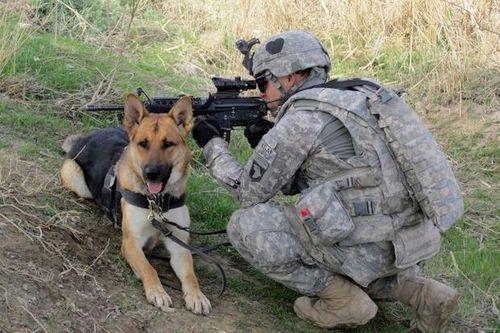 Anjing Militer
