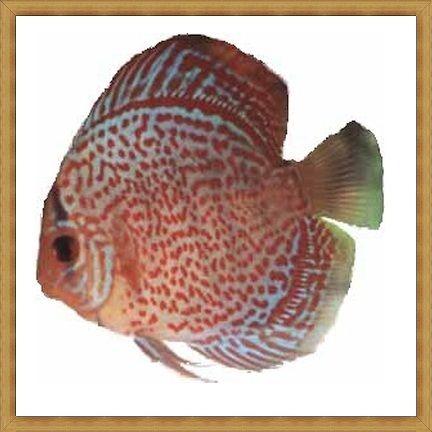 Ikan Discus Terpopuler