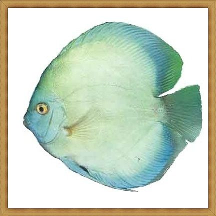 Blue Cover Discus