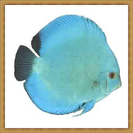 Ikan Discus Terbaik