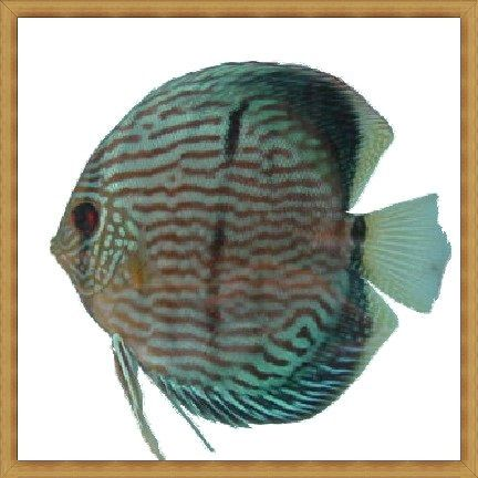 Harga Ikan Discus