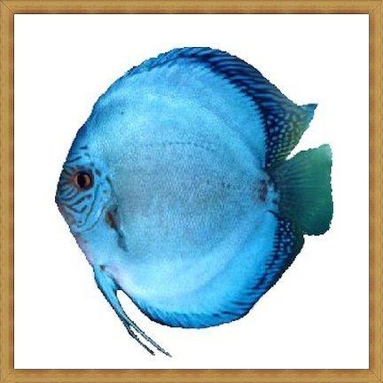 Ikan Discus Termurah