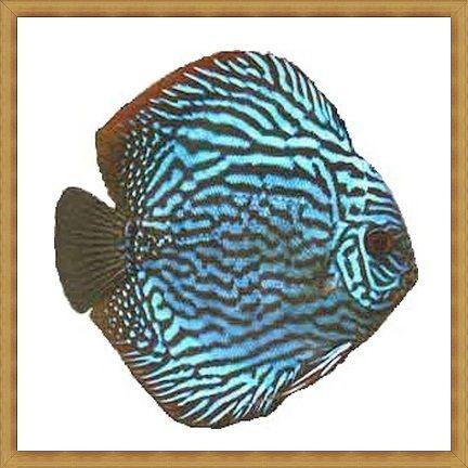 Gambar ikan Discus paling indah