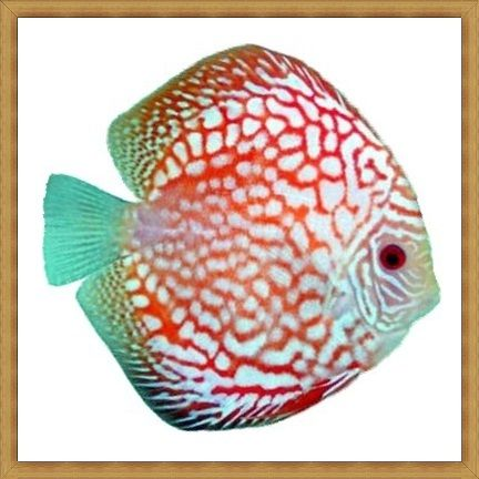 Checkerboard Pigeon Discus