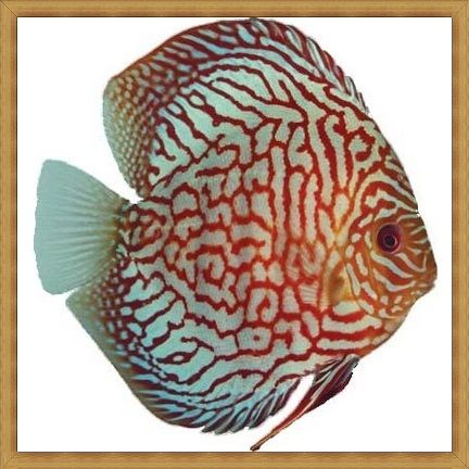 Checkerboard Turquoise Discus