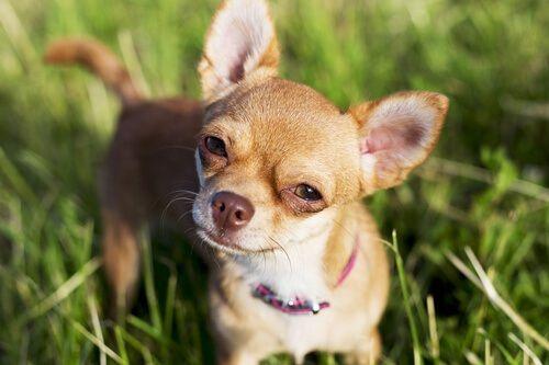 Chihuahua Nakal