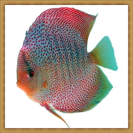 Crimson Spotted Discus