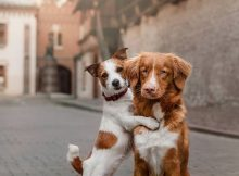 Dua anjing