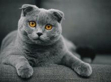 Fakta Scottish Fold
