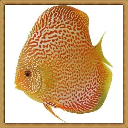 Fireworks Discus