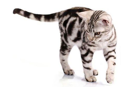 Foto Kucing American Shorthair