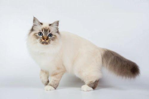 Foto Kucing Birman