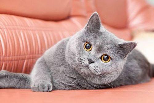 Foto Kucing British Shorthair