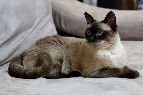 Foto Kucing Burmese
