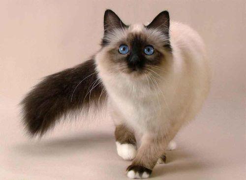 Foto Kucing Siam