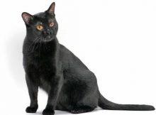 Gambar Kucing Bombay