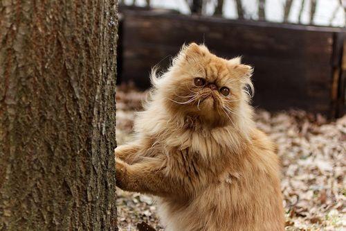 Gambar Kucing Persia Lucu 2