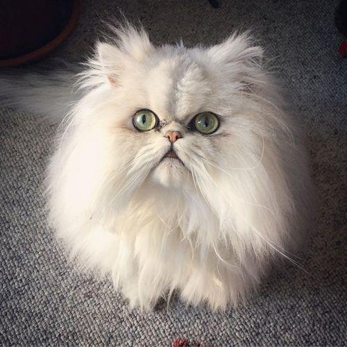 Gambar Kucing Persia Lucu 4