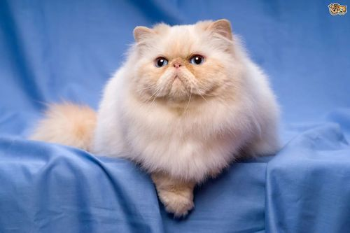 Gambar Kucing Persia Lucu 7