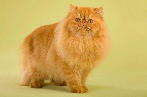 Gambar Kucing Persia Lucu 8