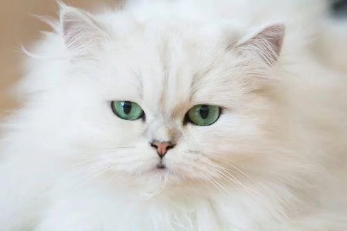 Gambar Kucing Persia Lucu 9