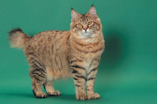 Gambar Kucing Pixie Bob