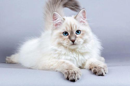 Gambar Kucing Siberia
