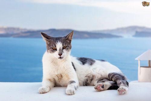 Gambar Ras Kucing Aegean