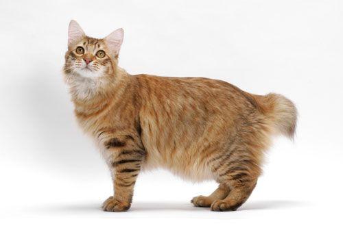 Gambar Ras Kucing American Bobtail