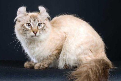 Gambar Ras Kucing American Curl