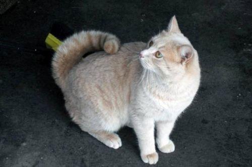 Gambar Ras Kucing American Ringtail