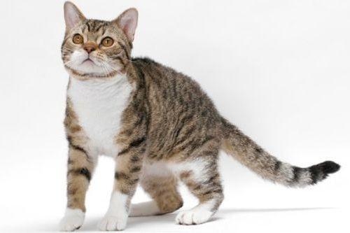 Gambar Ras Kucing American Wirehair