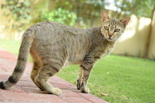 Gambar Ras Kucing Arabian Mau