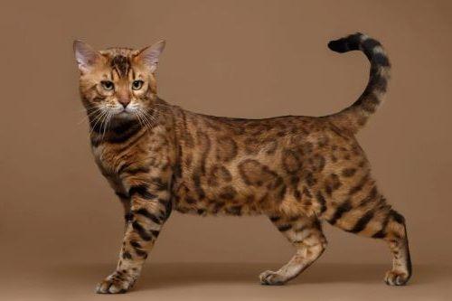 Gambar Ras Kucing Bengal