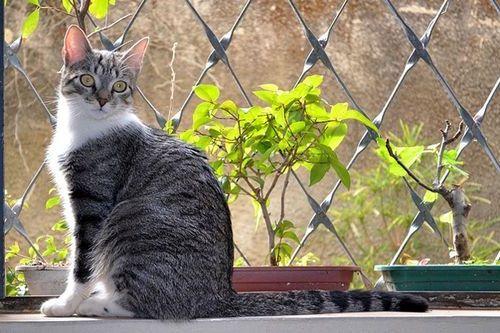Gambar Ras Kucing Brazilian Shorthair