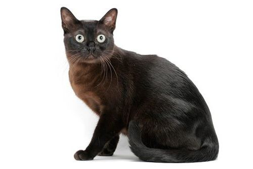 Gambar Ras Kucing Burmese