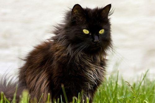 Gambar Ras Kucing Chantilly-Tiffany