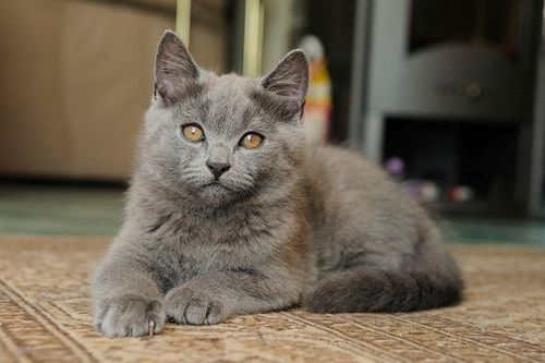 Gambar Ras Kucing Chartreux