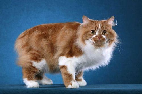 Gambar Ras Kucing Cymric