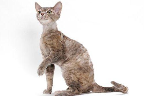 Gambar Ras Kucing Devon Rex