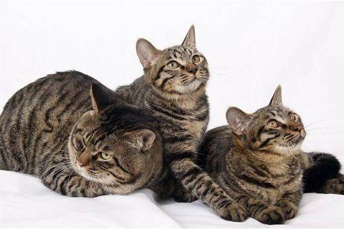 Gambar Ras Kucing Dragon Li