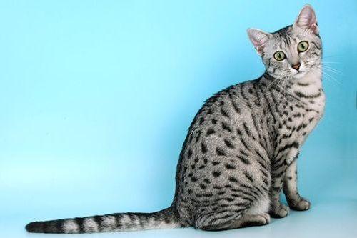 Gambar Ras Kucing Egyptian Mau