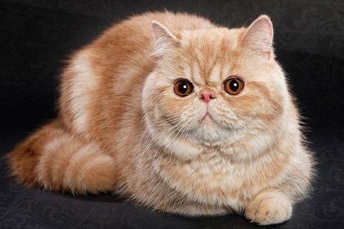 Gambar Ras Kucing Exotic Shorthair