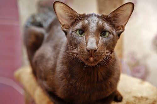 Gambar Ras Kucing Havana Brown