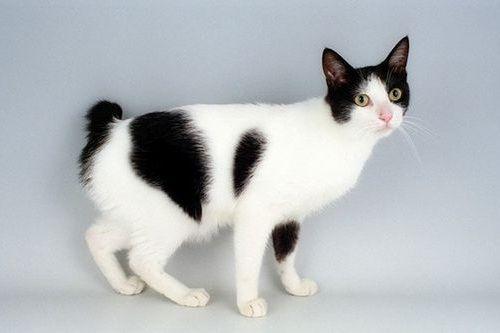 Gambar Ras Kucing Japanese Bobtail