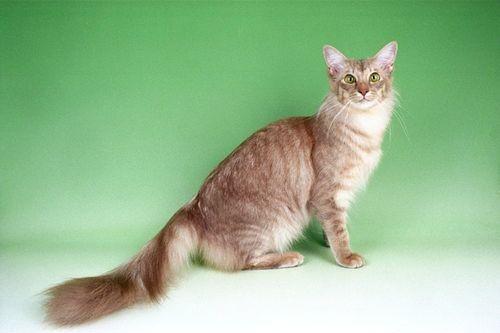 Gambar Ras Kucing Javanese