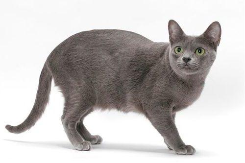 Gambar Ras Kucing Korat