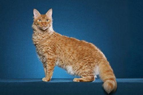 Gambar Ras Kucing LaPerm